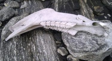 The recovered jawbone from a horse that died nearly 1000 years ago. Photo: Oppland County Council