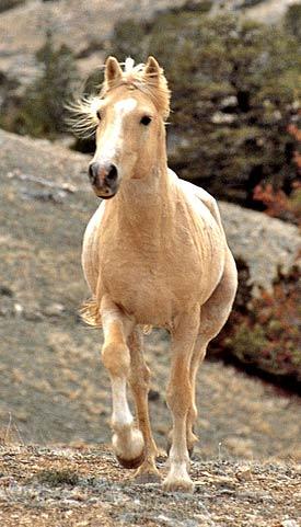 Pryor wild stallion Cloud.