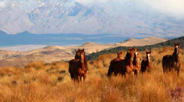 Kaimanawa horses on the range. Photo: Kaimanawa Heritage Horses Society
