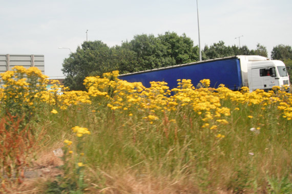 Ragwort grows well on roadsides and in fields.