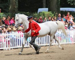 An arabian stallion on show.