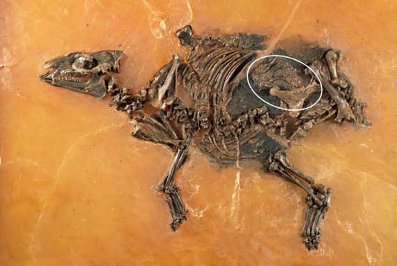 Micro x-ray analysis revealed a well preserved foetus within the fossil of an ancient horse, Eurohippus messelensis. Photo: Senckenberg Research Institute Frankfurt