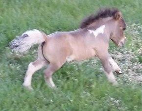 shammy-foal2