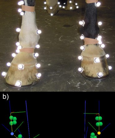 A photograph and three-dimensional reconstruction of one uneven footed horse showing the marker set used in the study. The photograph shows the anatomical and tracking markers used for the study. It illustrates the definition of a horse with uneven feet where the right forelimb has a lower hoof angle and the left forelimb has a higher hoof angle. The lower image provides an example of the functional consequences of unevenness in one horse with a difference in dorsal hoof wall angle of 8 degrees. The hoof on the left has the lower hoof angle. Images: PLoS ONE