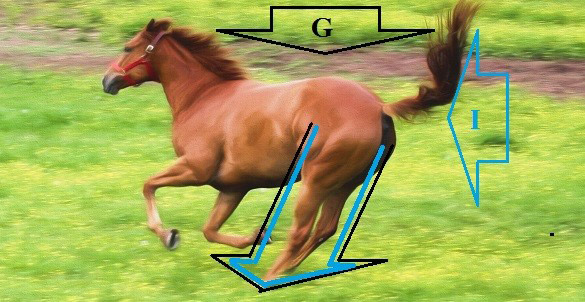 At impact of the hind legs, gravity (black arrow) is pulling the body down to earth and inertia, (blue arrow) is pushing the body forward creating acceleration of gravity.