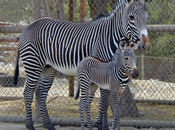 A new Grevy's zebra foal born to Tisa is an important part of conservation efforts to save the species. Photo: The Living Desert