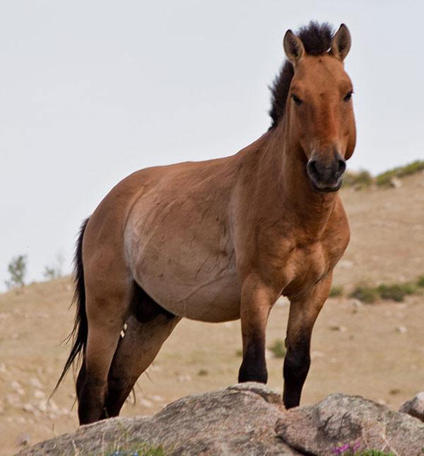A Przewalski's horse in Khustain Nuruu National Park, Mongolia. Photo: Chinneeb CC BY-SA 3.0/ via Wikipedia