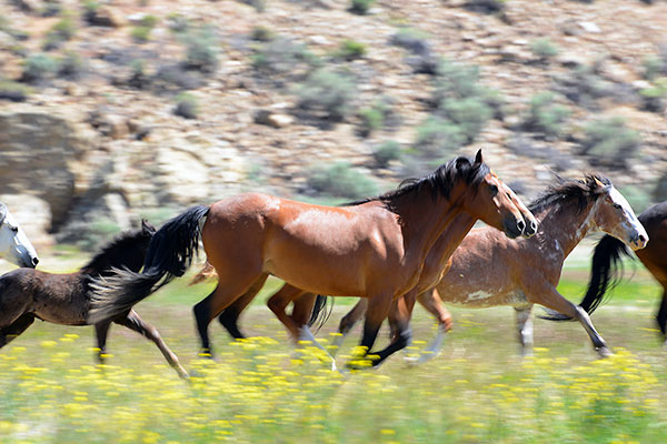 Call of the wild horses in Idaho: Preserving an American icon - Horsetalk.co.nz