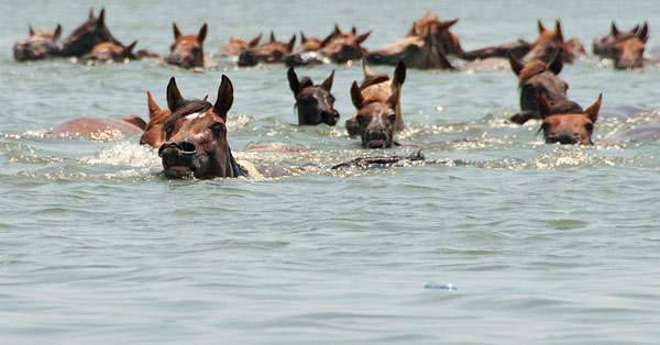 Chincoteague ponies during the annual pony penning and swim from Assateague. Photo: Bonnie U. Gruenberg [CC BY-SA 3.0] via Wikimedia Commons