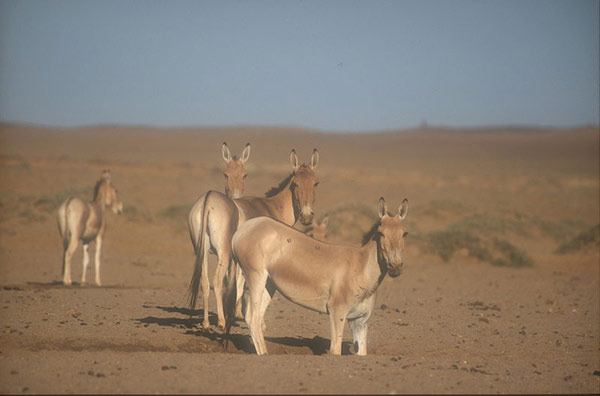 The kulan, or Mongolian wild ass, primarily drinks at night, researchers have found. Photo: Petra Kaczensky/Wikimedia Commons/CC-BY-SA-2.5,2.0,1.0