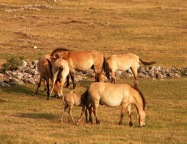 The Przewalski's horse drinks during the day, and prefers higher quality water sources. Photo: Jairo S. Feris Delgado/ CC-BY-SA-3.0 via Wikimedia Commons