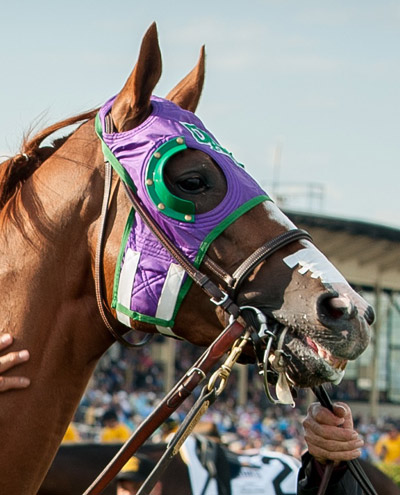 Triple Crown winner California Chrome sporting a tongue tie, as well as nasal strips. © Maryland GovPics - Flickr: 139th Preakness Stakes. Licensed under CC BY 2.0 via Wikimedia Commons