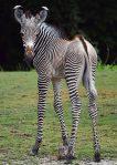 grevys-foal5