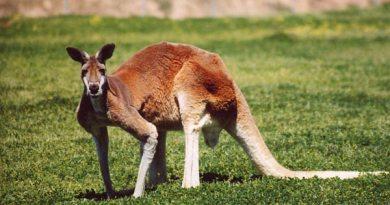 A red kangaroo. Photo: Rileypie via Wikimedia Commons
