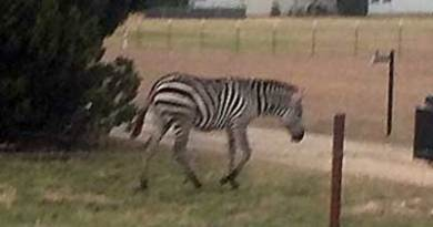 The zebra was on the loose near Granby, in northern Texas. Photo: Sheriff Roger Deeds