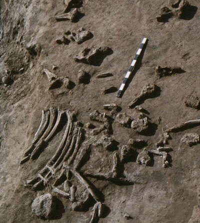 The remains of a mammoth killed by humans near LaPrele Creek in Converse County, Wyoming., about 13,000 years ago. New University of Wyoming research shows wide variation in the rates at which the bones of ancient animals in the Americas have been lost. Photo: Danny Walker and Wyoming State Archaeologist's Office