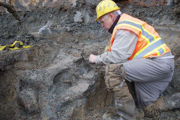 After construction workers discovered mammoth bones and other ancient animal bones on site at Oregon State University's Valley Football Center, archaeologists stepped in to remove some of the bones. Photo: Loren Davis
