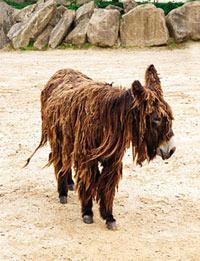 An example of the Poitou's dreadlocks in a donkey at Philadelphia Zoo.