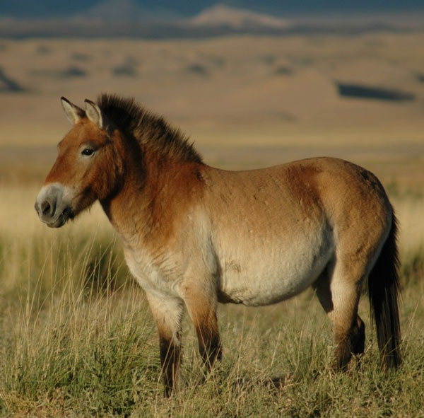 A Przewalski's horse in the Khar Us Nuur National Park Buffer Zone. Photo: Claudia Feh CC BY-SA 4.0 via Wikimedia Commons