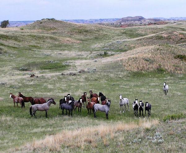 Wild horses at Theodore Roosevelt National Park. Photo: Marlylu Weber, North Dakota Badlands Horse Registry