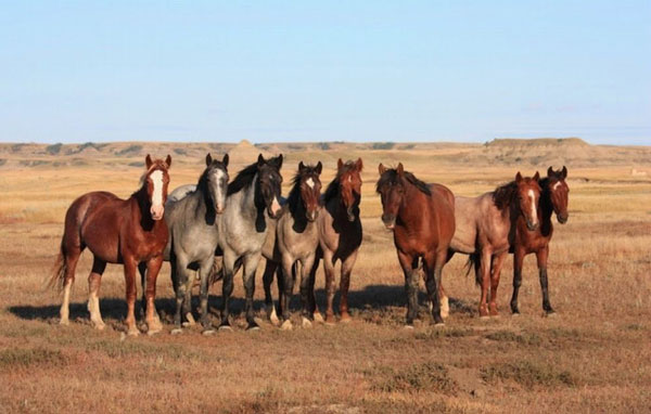 A band of wild horses at Theodore Roosevelt National Park. Photo: Marlylu Weber, North Dakota Badlands Horse Registry