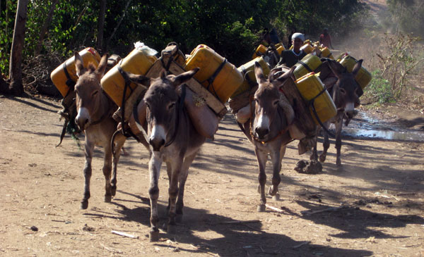 Donkeys at work in Ethiopia.