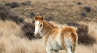 Mares with very young foals would be left on the ranges if possible.