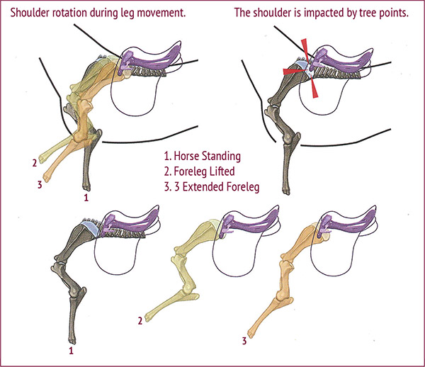 Shoulder-blade rotation and movement during different foreleg motion. It is obvious that a saddle with an incorrectly adjusted tree angle, incorrect tree width, or when its tree points are angled forward, as in this illustration, can cause potentially serious issues at the shoulder.