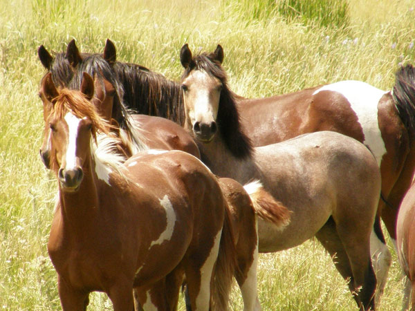 Wild horses in northern Wyoming.