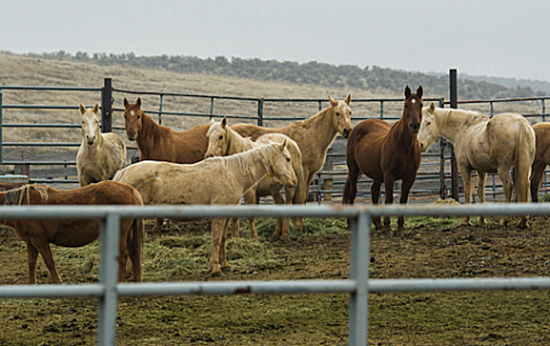 Wild horses being held at the BLM's facility in Burns, Oregon. Photo: Mike Lorden
