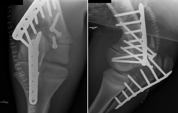 An x-ray showing an extensive fracture repair in a horse