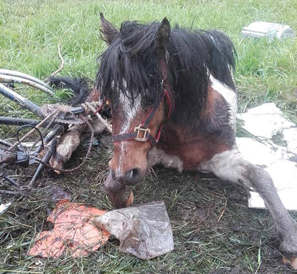 Sprocket was found hopelessly tangled in her tether, with the sprocket from an old bicycle cutting into her leg. Photos: North Mayo Horse Sanctuary/Facebook