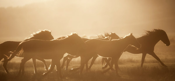 Wild mustangs running free in a North American prairie at sunset. The descendants of domestic horses that returned to the wild, mustangs may be distant relatives of the extinct tarpans. Photo: iStock.com/St.MarieLtd