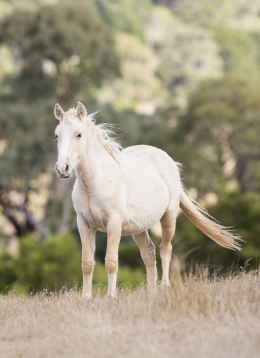 A wild Brumby in Australia.