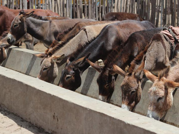 Five new 50-foot long water troughs for donkeys and other working animals are to be built in Ethiopia.