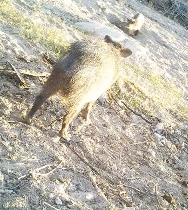 Javelina (also known as a peccary or skunk pig) bathing in burro well.
