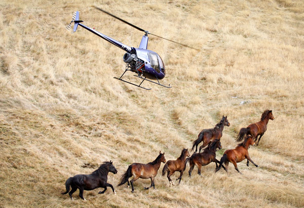 Wild horses being mustered by helicopter.
