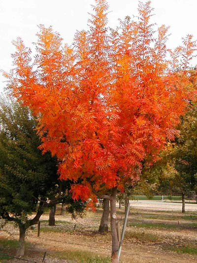Pistacia chinensis showing its autumn colors. ©USDA Agriculture Research Service