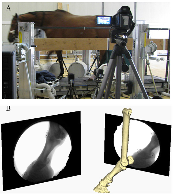 Images of the experimental and virtual set-up. A shows the experimental set-up of the horse walking on a custom-made platform retrofitted with a forceplate and surrounded by the bi-planar fluoroscopy system. B shows the virtual setup of the horse right forefoot based on the experimental alignment of the X-ray sources and the intensifiers. Images in black frames (right and left) illustrate the projections of the distal foot from the two X-ray cameras.