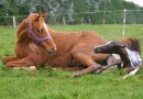 Influence of mare size on birth explored in Austrian study