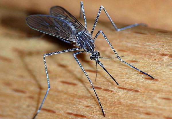 A female mosquito of the Culicidae family (Culiseta longiareolata). Photo: Alvesgaspar CC BY-SA 3.0 via Wikimedia Commons