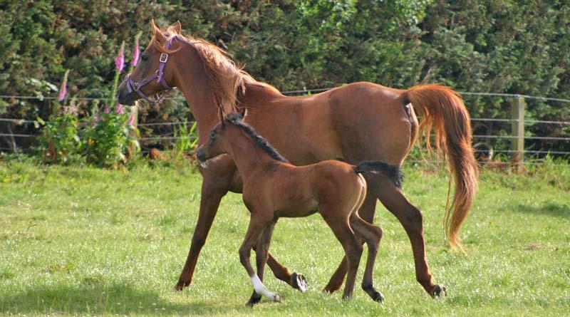 foal-800-445_9895