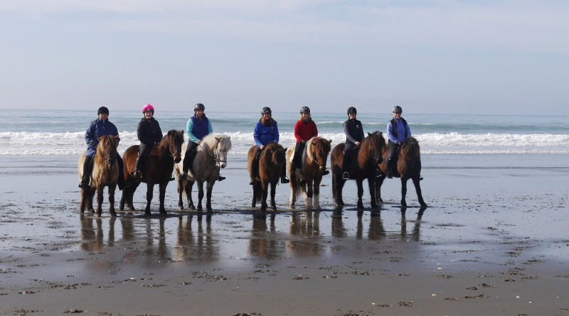 New Zealand is home to more than 150 Icelandic horses.