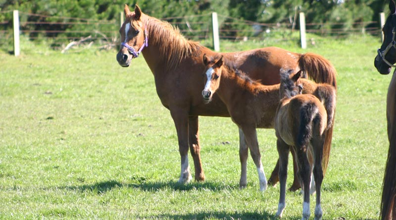 Well-known The cost of breeding a foal: Is it really worth it? - Horsetalk.co.nz LN05