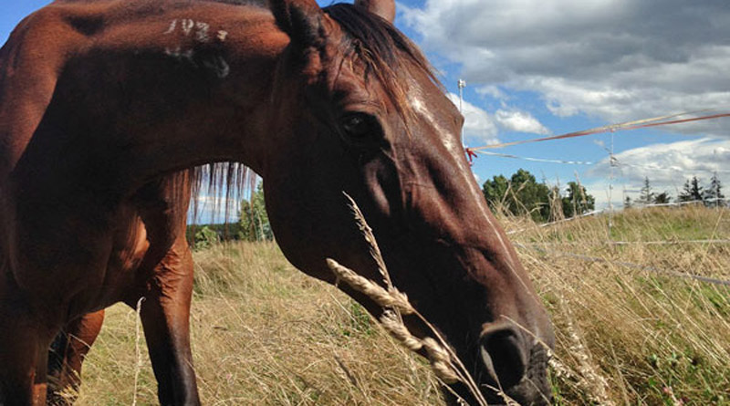 Stomach ulcers are common in sport horses. An Australian study has compared the performance of aloe vera in treating them to the drug omeprazole.