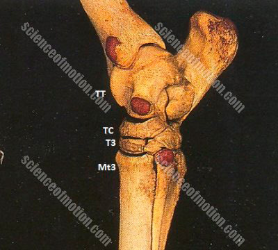 At the moment of impact, Mt3 and T3 may be considered to be stationary. The tibiotarsal bone, (TT) and central tarsal bone, (TC) are also stationary.