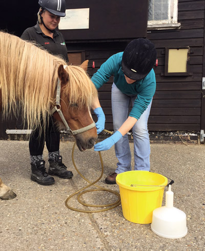 A horse is given a nasogastric intubation. Photo: Redwings Horse Sanctuary