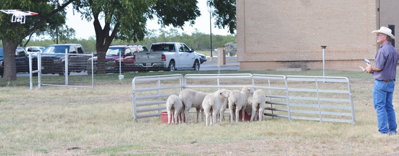 Texas A&M AgriLife Research resident director at San Angelo, Dr John Walker, moves a small flock of lambs with a drone. Photo: Steve Byrns, Texas A&M AgriLife Research