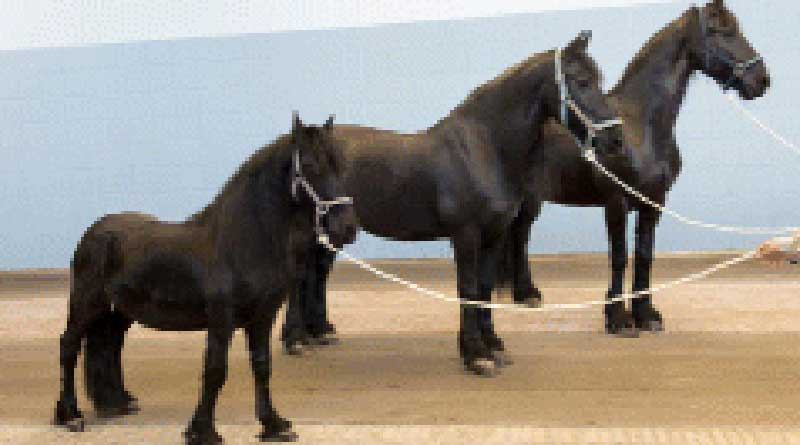 Gene Mutation Behind Dwarfism In Friesian Horses Identified Horsetalk Co Nz
