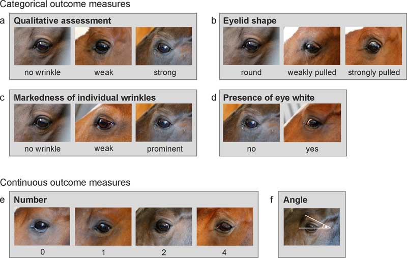 The measures for the assessment of eye wrinkle expression. (a) Qualitative assessment: Categories reflect the first subjective impression of the expression of eye wrinkles based on the number of wrinkles, their markedness, and the angle they are forming. 'No wrinkle': no wrinkle visible. 'Weak': the overall impression of the wrinkles is weak with, e.g., some weakly marked wrinkles forming a narrow angle. 'Strong': the overall impression of the wrinkles is strong with, e.g., several marked wrinkles forming a wide angle above the eyeball. (b) Eyelid shape: 'Round': smooth curve without any sign of the lid being pulled in the dorso-medial direction. 'Weakly pulled': curve is continuous but slightly pulled in the dorso-medial direction. The eye looks more angled. 'Strongly pulled': the lateral part of the lid is an almost straight line. (c) Markedness: the depth and width of the wrinkles is assessed. If the markedness differs between wrinkles, the most prominent wrinkle is assessed. 'No wrinkle': no wrinkle visible. 'Weak': wrinkles are flat and narrow lines. 'Strong': wrinkles are pronounced in depth and width. (d) Eye white: The sclera (eye white, also when brownish due to pigments) is assessed as visible ('yes') or not visible ('no'). (e) Number: Only wrinkles above the eyelid and those of a minimum length of one third of the eyeball's diameter are considered. A deep indent, often seen in older horses, is not considered as a wrinkle (as it is not caused by muscle contraction of the inner eyebrow raiser). Moreover, wrinkles originating on the eyelid (mostly one or two) are not counted. (f) Angle: The degree of the angle is measured on the intersection of the extension of a line drawn through the eyeball and the extension of the highest wrinkle. The line through the eyeball extends from the medial to the lateral corner of the eyeball. If the medial corner is not clearly defined, the line goes through the middle of the tear duct.